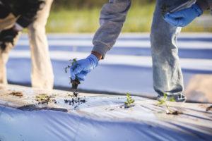 Workers Planting Tomoato Seedlings