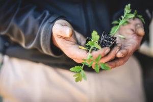 Worker Holding Tomato Seedlings