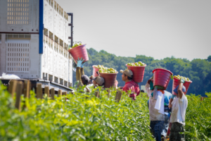 Workers Carrying Buckets of Tomatoes