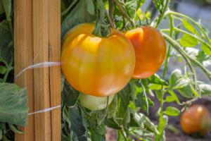 Unripened Tomatoes on the vine